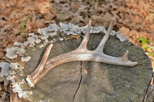 stag antler shed